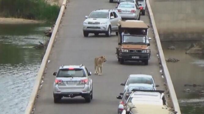 Królewski spacer środkiem drogi. Lwica zablokowała ruch