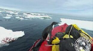 Pingwin odwiedził naukowców na łodzi